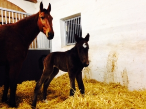 Hingst født 15/2-15, mor Beliz - far Trophy Catch. Herlig!!